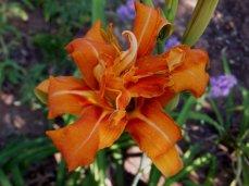 Double Orange Daylily (Hemerocallis)