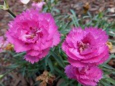 Dianthus 'EverLast® Orchid' (Dianthus interspecific)