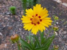 Tickseed 'Sunfire' (Coreopsis grandiflora 'Sunfire')