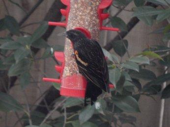Red-Winged Blackbird (Agelaius phoeniceus) Immature Male
