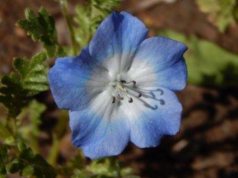 Nemophila insignis 'Baby Blue Eyes'
