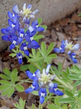 Texas Bluebonnet (Lupinus texensis)