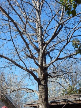 Shumard Oak (Quercus shumardii) March 12, 2015