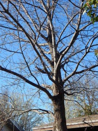 Shumard Oak (Quercus shumardii) March 14, 2015
