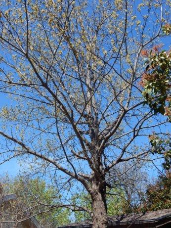 Shumard Oak (Quercus shumardii) March 23, 2015