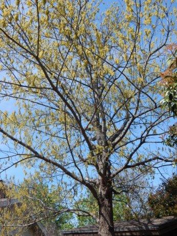Shumard Oak (Quercus shumardii) March 27, 2015