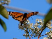 Monarch Butterfly (Danaus plexippus) April 12, 2015