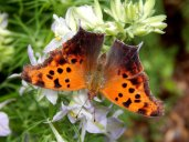 Question Mark Butterfly (Polygonia interrogationis)