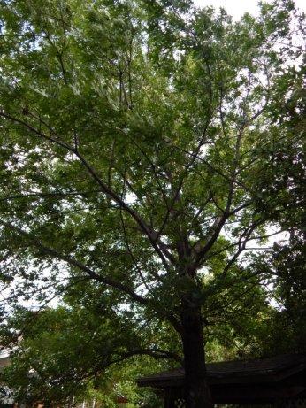 Shumard Oak (Quercus shumardii) - May 7, 2015