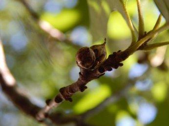 Shumard Oak (Quercus shumardii) Acorns