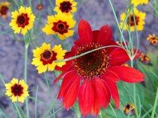 Sombrero® Salsa Red Coneflower (Echinacea purpurea)