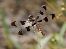 Common Whitetail Skimmer (Plathemis lydia) - Female