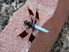 Common Whitetail Skimmer (Plathemis lydia) - Adult Male