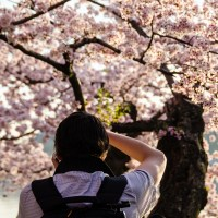 The Cherry Blossoms in DC