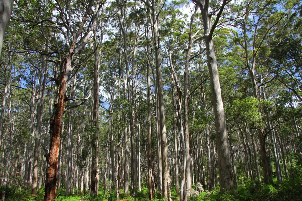 Eucalyptus Forests south of Perth