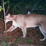 Mountain Lions Moving East?