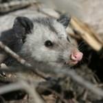 New Zealand School Program Promotes Possum Trapping
