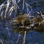 North Dakota Trapper Targets Muskrats