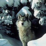 Montana, Minnesota to Open Wolf Trapping Seasons