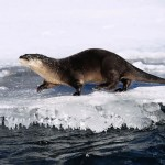 Indiana Considers Otter Trapping Season