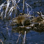 Cleaner Water Contributing to Muskrat Decline?