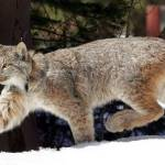 Idaho won't have to alter trap rules to protect Canada lynx | Idaho Statesman
