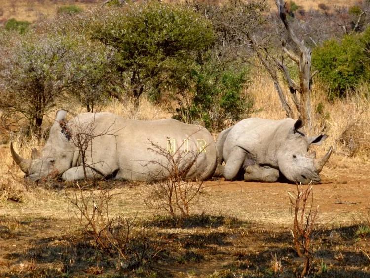 Rinocerontes blancos, Botswana