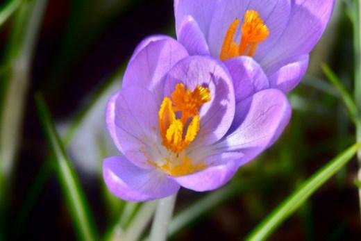 Krokus, Garten, blühen, Blume, Frühblüher