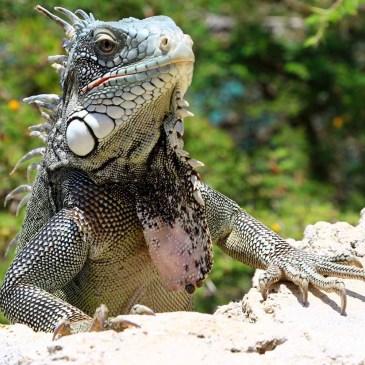Curaçao – 101 Leguane!