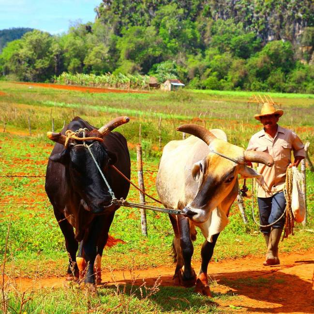 You think time travel isn't possible!? Well that means, you haven't been to Cuba yet! #throwback #cuba #viñales #tobacco #fields #travel #travelingram #beautifuldestinations #passionpassport #teamtravelers #worldplaces #travelpics #tlpicks #lonelyplanet #travellers #instagram #travelblog #worldtravelbook #travelawesome #greatesttravels #letstraveltoday #wanderlust #hastalavictoriasiempre #destinavos
