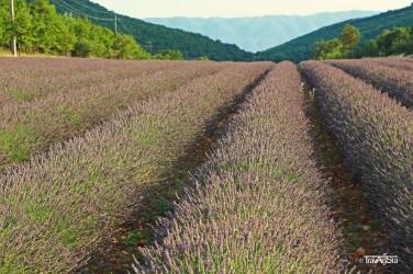 Lavender (3)t