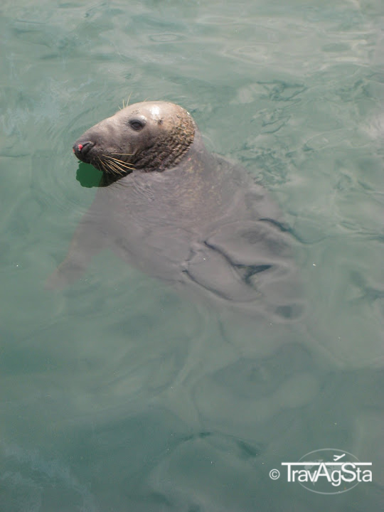 Seal, Howth, Ireland