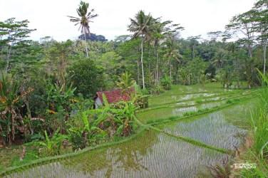 Reisfelder (11)t