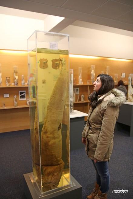Icelandic Phallological Museum, Reykjavik, Iceland