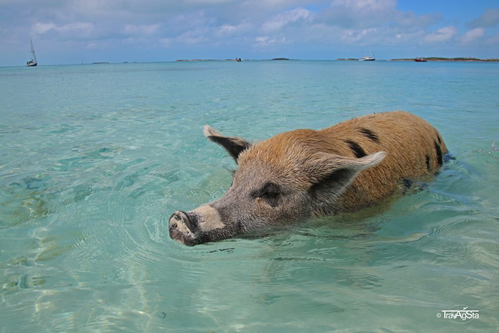 Swimming Pigs, Exuma, Bahamas
