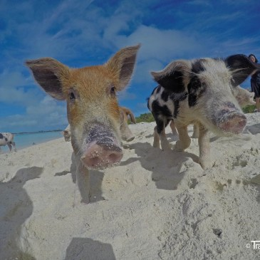 Swimming Pigs, Nurse Sharks, Iguanas – Tagestrip entlang der Exuma Cays!
