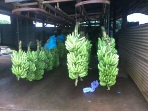 travailler-dans-une-ferme-de-bananes