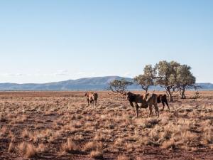 vaches en ranch australie désert