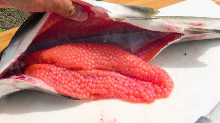 【北海道釣り旅】超新鮮イクラが詰まったマスのお腹を開くと大量にあふれ出る!#8