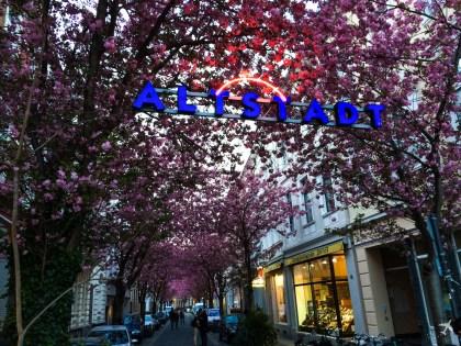Kirschblüte, Bonn Altstadt