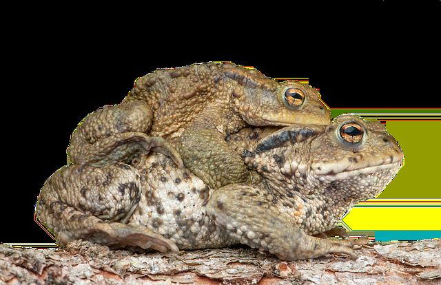 ヒキガエル 卵 オタマジャクシ 幼体 大きさ  毒の成分