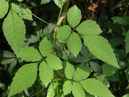 ヤブガラシ 地下茎 長い 駆除 食べ方 スズメバチ