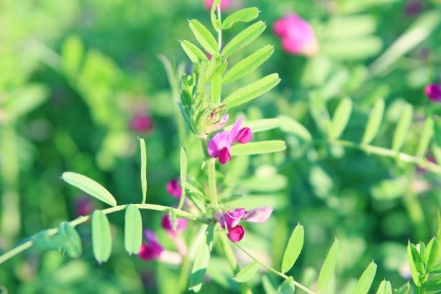 カタバミ オキザリス 花言葉 種類 原産地