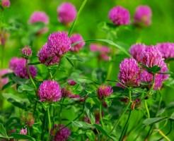 シロツメクサ 名前の由来 花言葉 構造 咲く季節