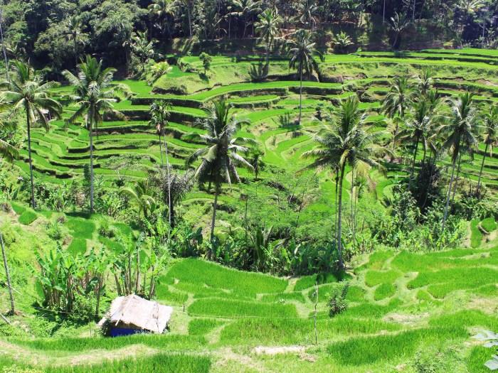 Tegalalang Rice Terraces - Ubud, Bali