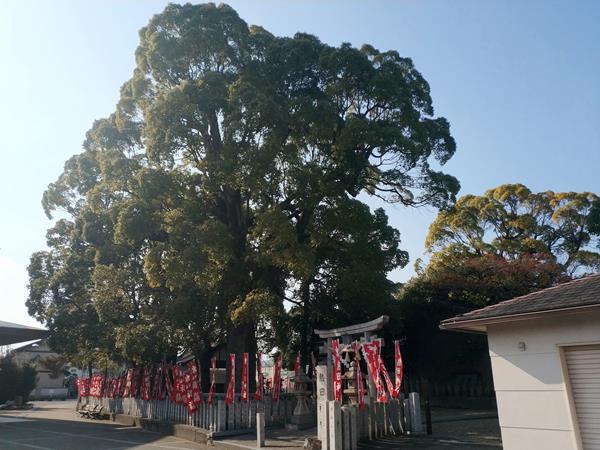 熱田神社の樟