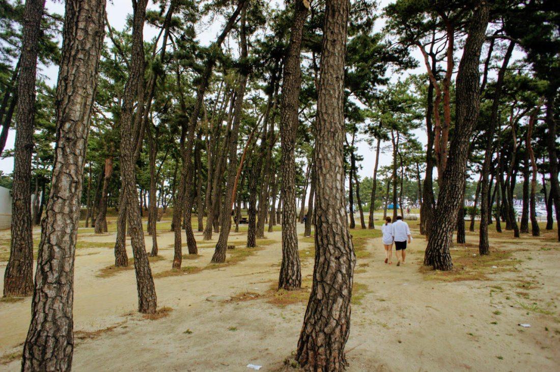 trees at gyeongpo beach