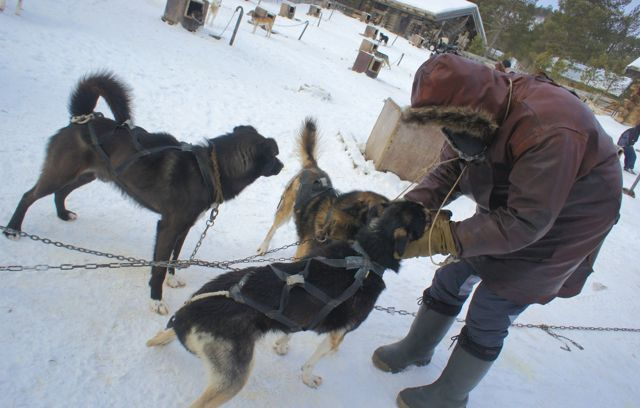 Getting to know our dogsled team