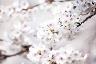 Cheongpunghoban Cherry Blossom Festival, photo: Korea.net