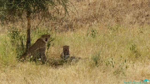 Fresh kill for her cubs